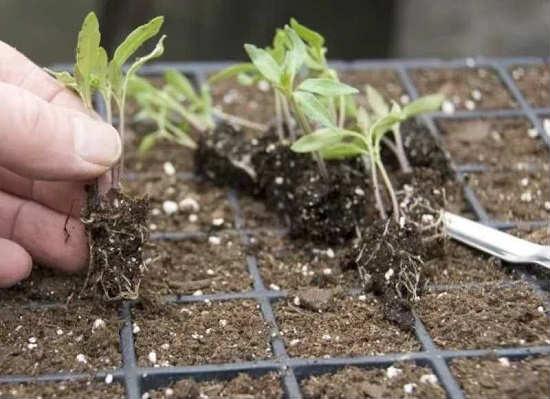 распикируем рассаду помидор